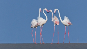 Greater_flamingos_at_Kutch